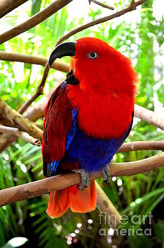 Mary Deal - Eclectus Parrot