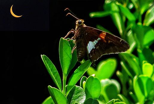 Eclipse and moth by Paul Wilford