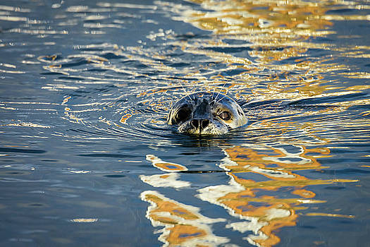 Michael McAuliffe - Edmonds Harbor Seal