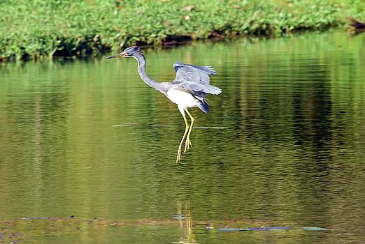 Effortless Landing Of Tricolored Heron by William Tasker