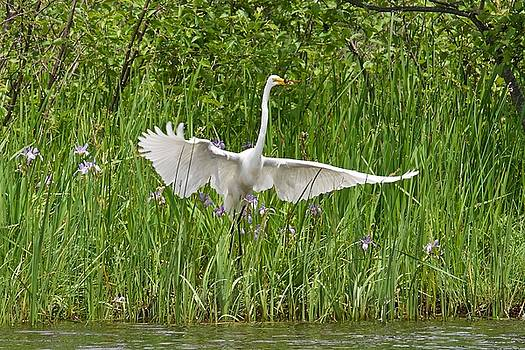 Egret About to Lift Off by Michael Peychich
