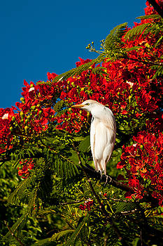 Roger Mullenhour - Egret and Poinciana Tree
