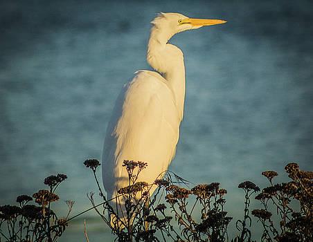 Egret at dusk by Elaine Webster