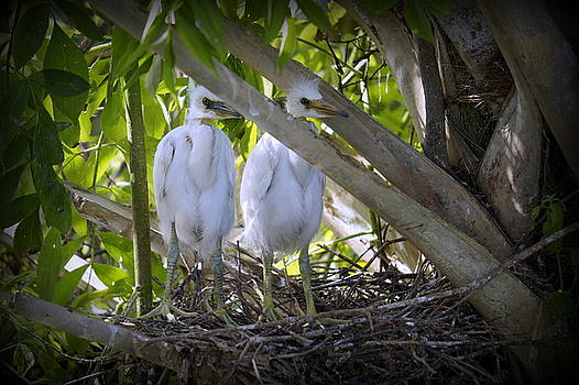 Laurie Perry - Egret Babies