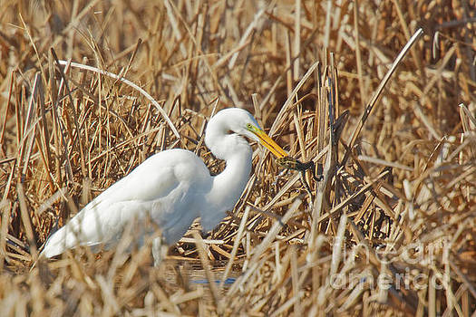 Egret Breakfast by Natural Focal Point Photography