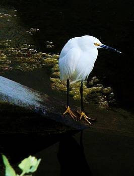 Egret by Daniele Smith