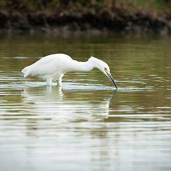 Egret Getting Lunch  by Catherine Lau