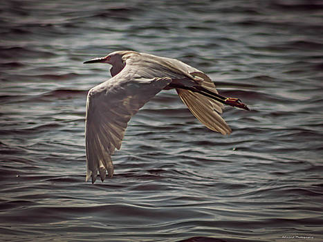 Egret In Flight 2 by Debra Forand
