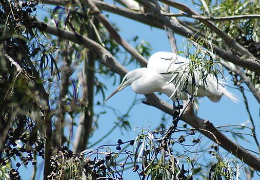 Egret in Rookery by Lawrence Pratt