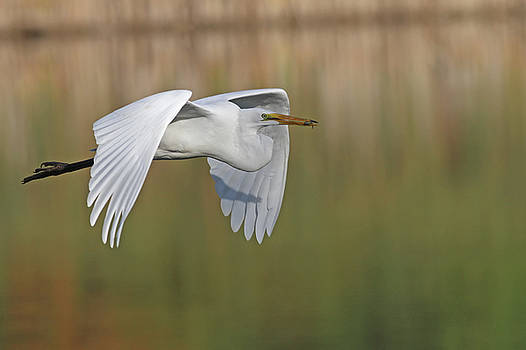 Egret by Jim Nelson