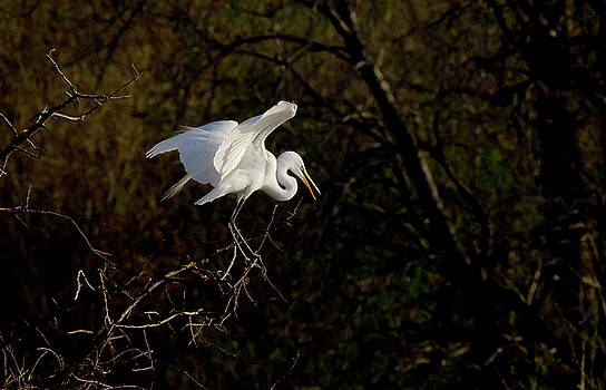 Egret by Kelly Marquardt