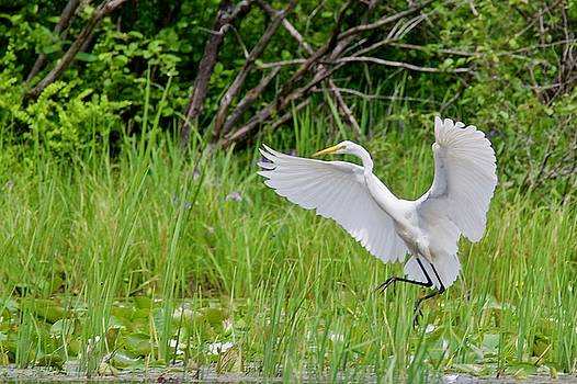 Egret Landing by Michael Peychich