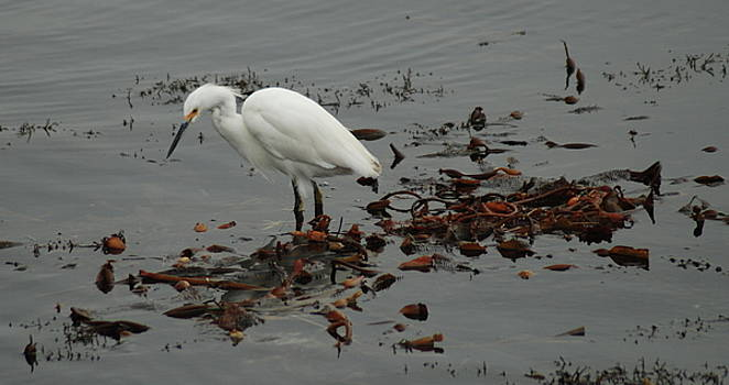 Egret on Seaweed Raft by Lawrence Pratt