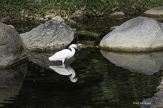 Egret over water mirror by Jose Oquendo