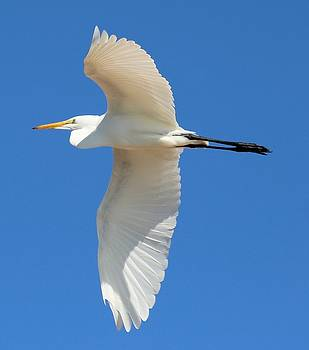 Egret Overhead by Gary Canant