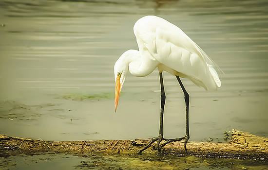 Egret Portrait by Karl Anderson