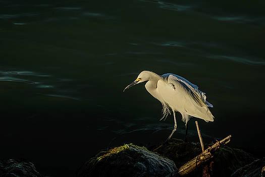Egret by Robert Mitchell