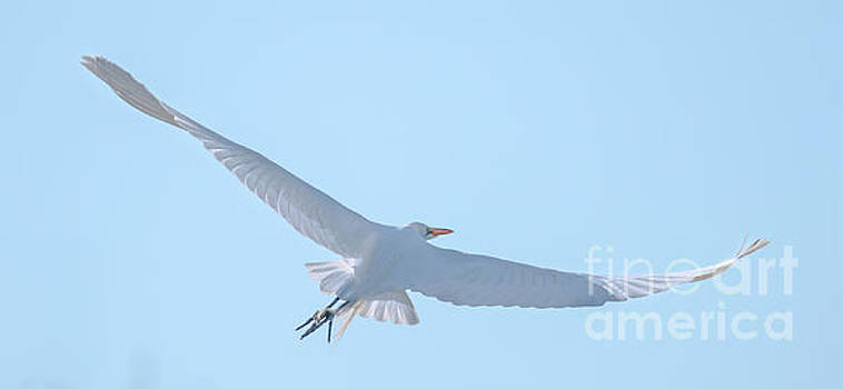 Egret Soaring by Dale Powell