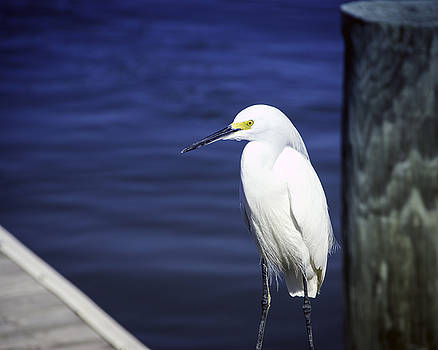 Egret Standing Tall by William Havle