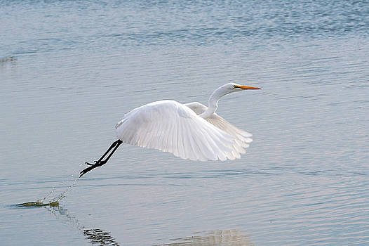 Egret Taking Off 1 by Catherine Lau