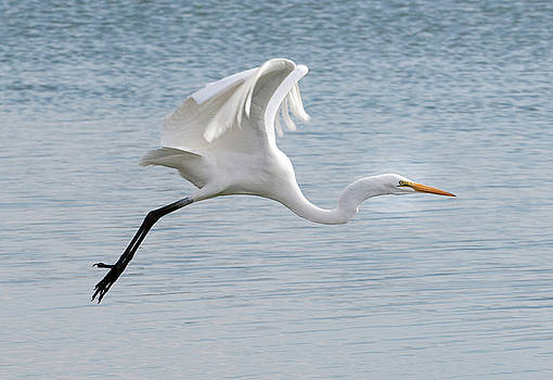 Egret taking off 2 by Catherine Lau