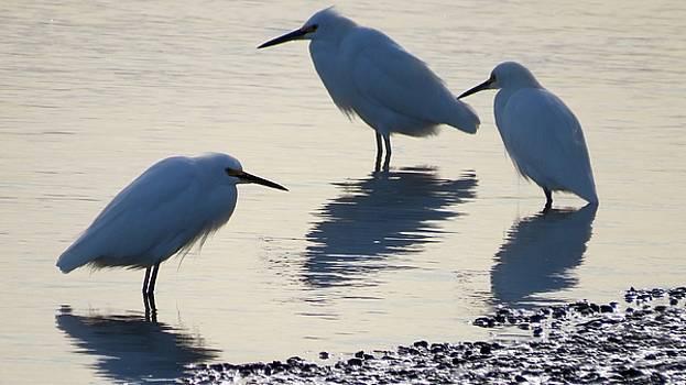 Egret Trio by Phil Bearce