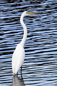 Egret, Wildwood Park PA by John Daly