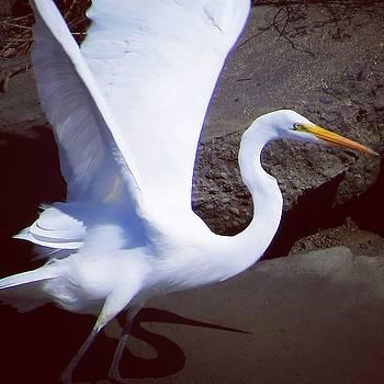 Egret Wings by Phil Bearce