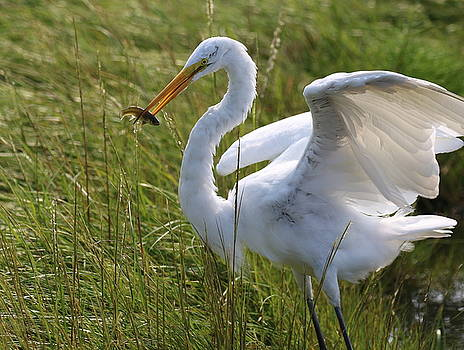 Egret with Fish by DVP Artography