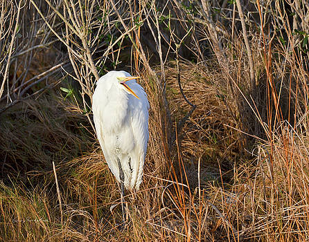 Egret with Something to Say by George Randy Bass