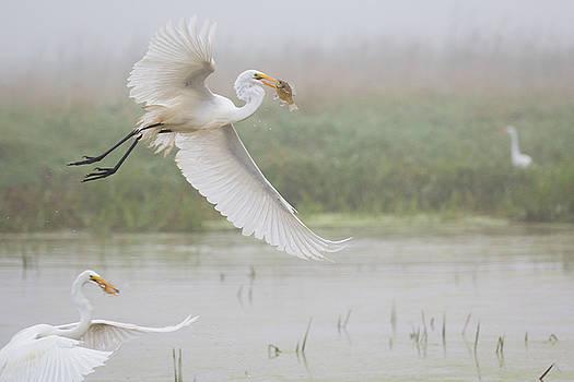 Egrets Fish by Kelly Marquardt