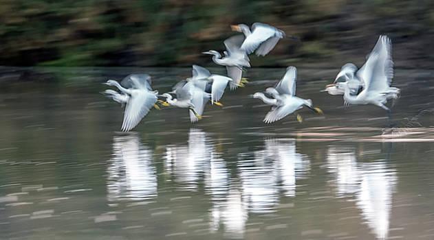 Egrets Ghostly Flight Blur 1264-011518-1cr by Tam Ryan