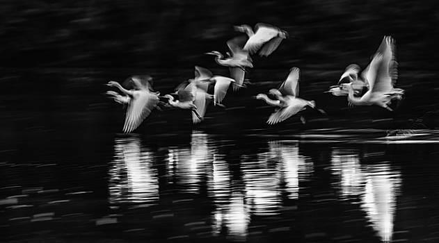 Egrets Ghostly Flight Blur 1264-011518-2-bw by Tam Ryan