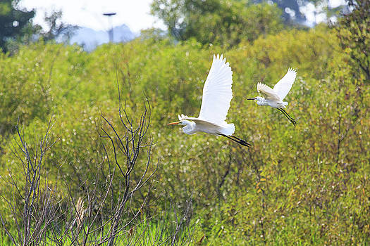 Egrets in Flight by Jennifer Casey
