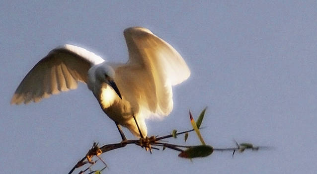 Linda Shafer - Egrets Landing