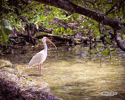White Ibis Mexico by William Havle