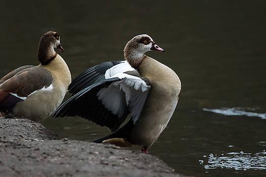Egyptian Geese by Matt Malloy