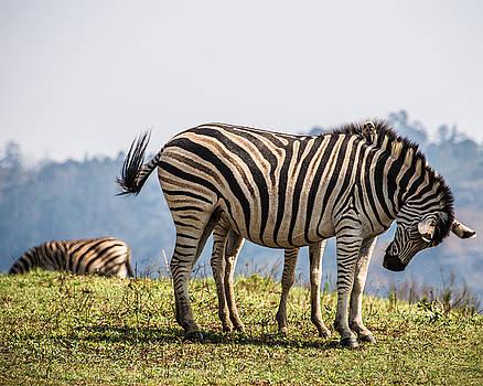 Eight Legged Zebra by George Salter