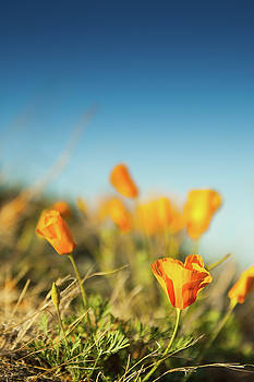 El Paso Poppies by SR Green