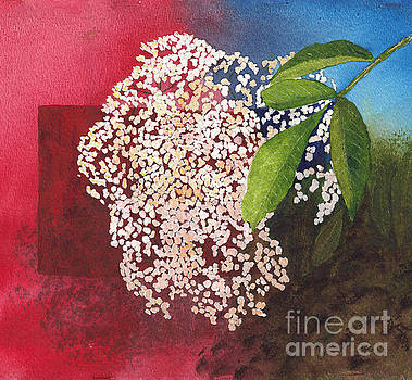 Elderberry Blossom in Watercolor by Conni Schaftenaar