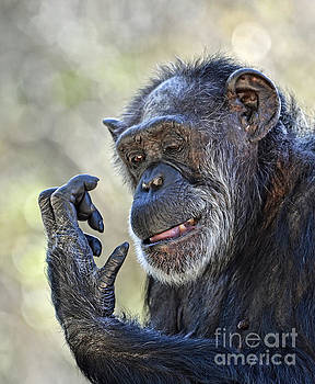 Elderly Chimp Studying Her Hand II by Jim Fitzpatrick
