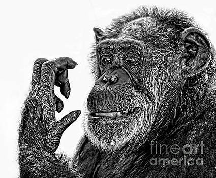 Elderly Chimp Studying Her Hand III by Jim Fitzpatrick