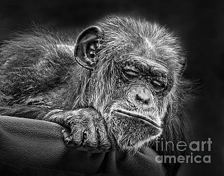 Elderly Chimp Watching the Action Below by Jim Fitzpatrick
