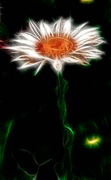 Electric Daisy by Phillip Burrow