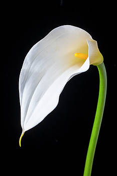 Elegant Calla Lily by Garry Gay