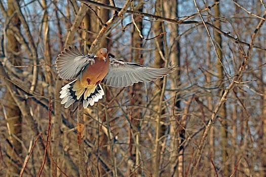 Elegant Dove by Asbed Iskedjian
