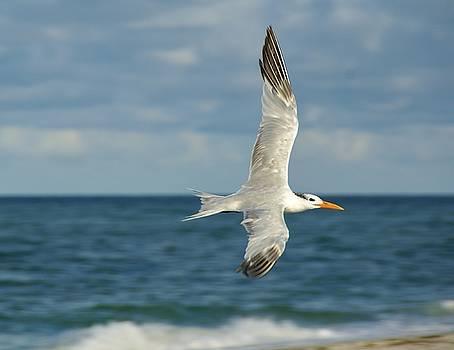 Patricia Twardzik - Elegant Flying Tern