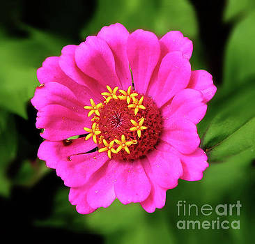 Elegant Zinnia Flower Pink Tones by Dave Nevue