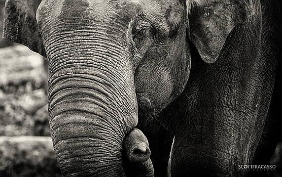 Elephant 2 by Scott Fracasso