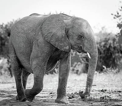 Tim Hester - Elephant Baby Calf In Wild Black And White